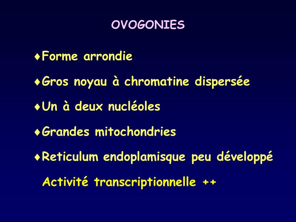 Gros noyau à chromatine dispersée Un à deux nucléoles