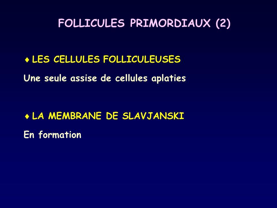 FOLLICULES PRIMORDIAUX (2)