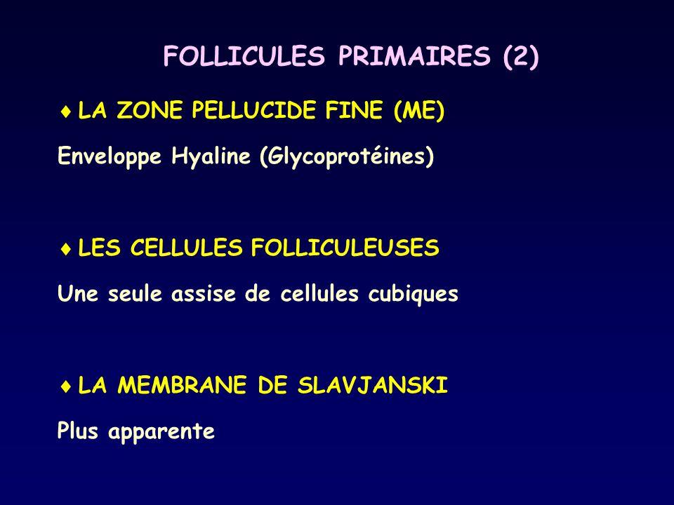 FOLLICULES PRIMAIRES (2)