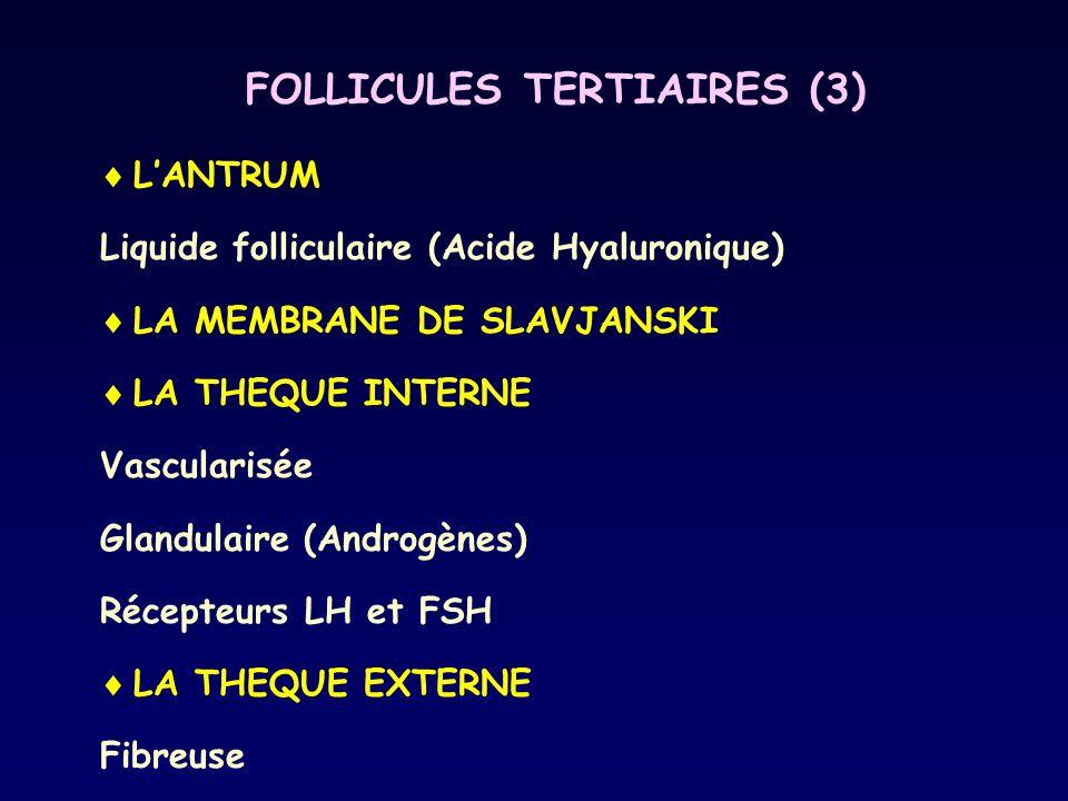 FOLLICULES TERTIAIRES (3)
