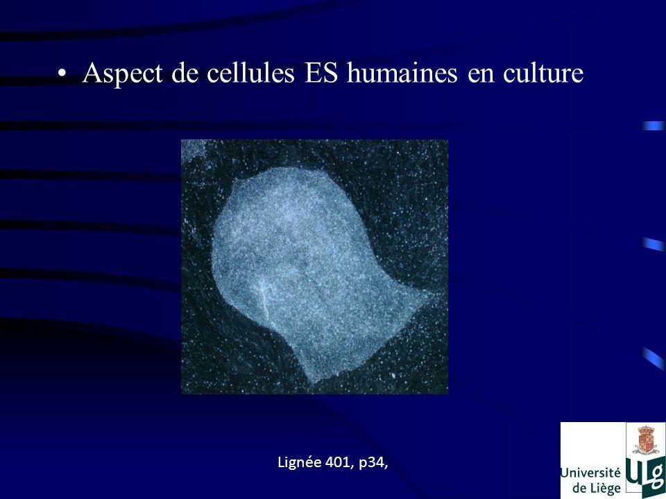 Aspect de cellules ES humaines en culture