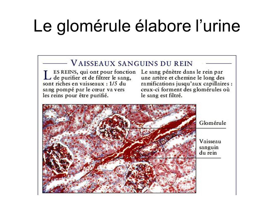 Le glomérule élabore l'urine
