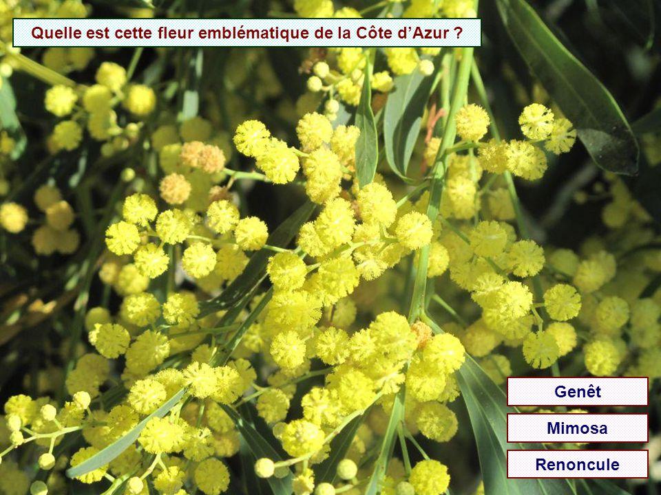 Quelle est cette fleur emblématique de la Côte d'Azur
