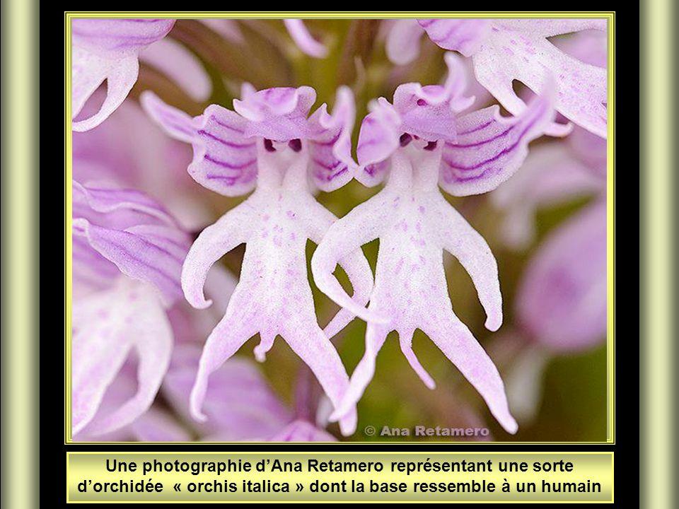 Une photographie d'Ana Retamero représentant une sorte d'orchidée « orchis italica » dont la base ressemble à un humain