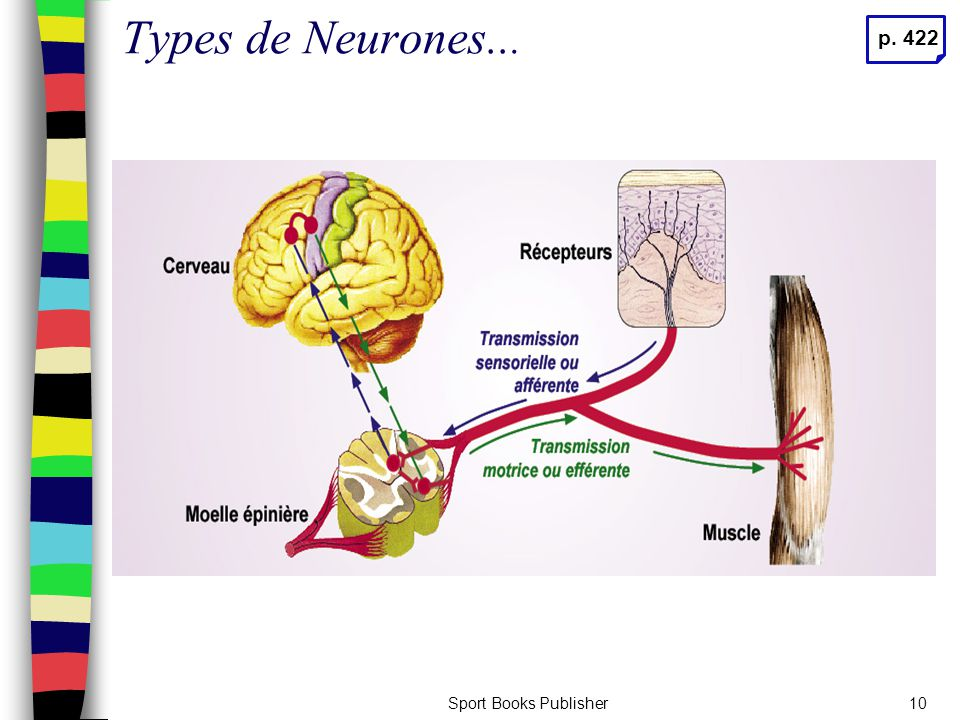 Types de Neurones... p. 422 Sport Books Publisher