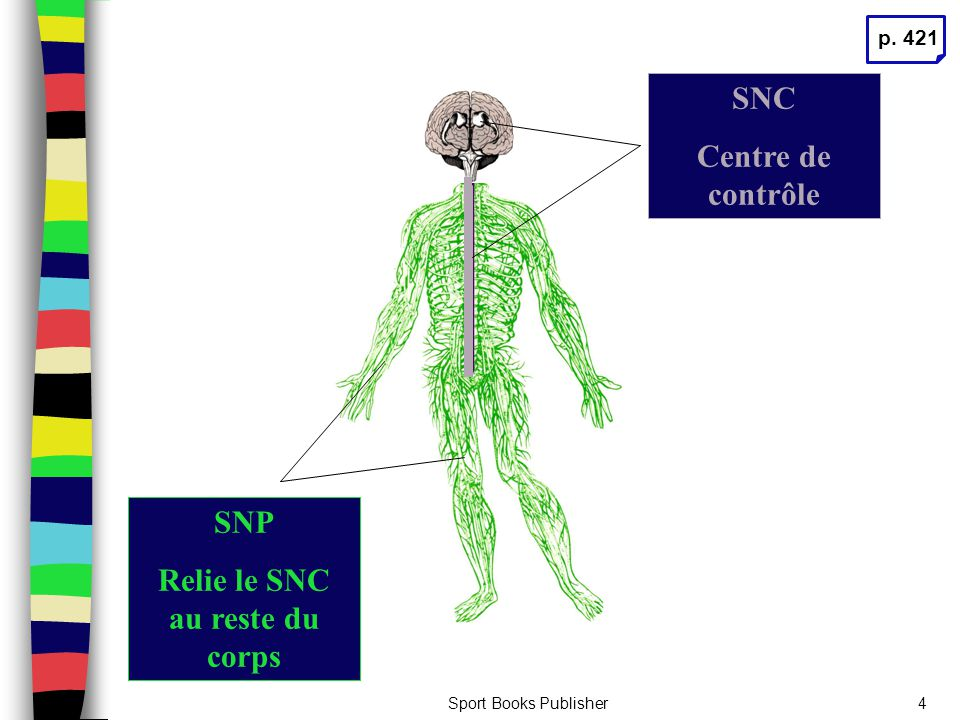 Relie le SNC au reste du corps