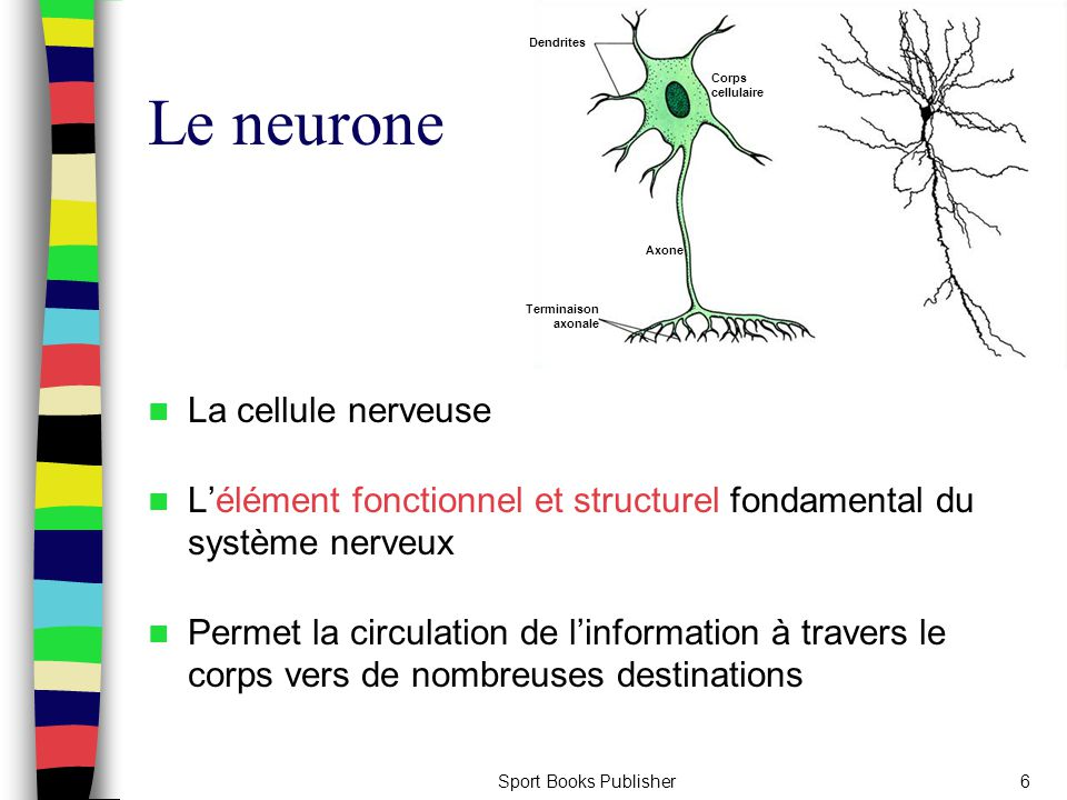 Le neurone La cellule nerveuse