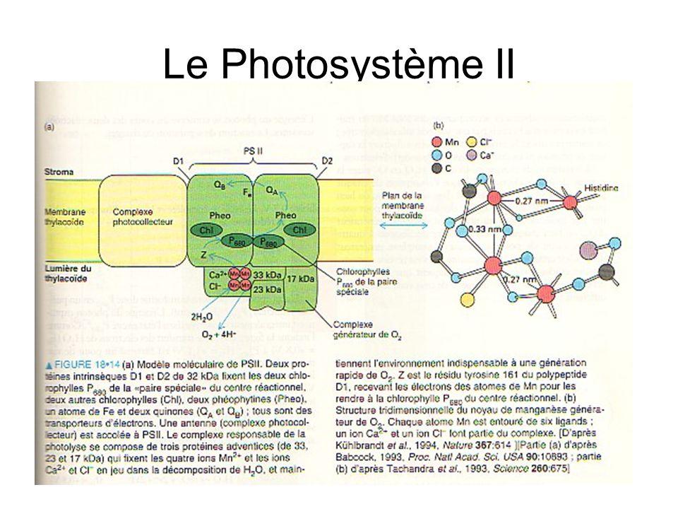 Le Photosystème II
