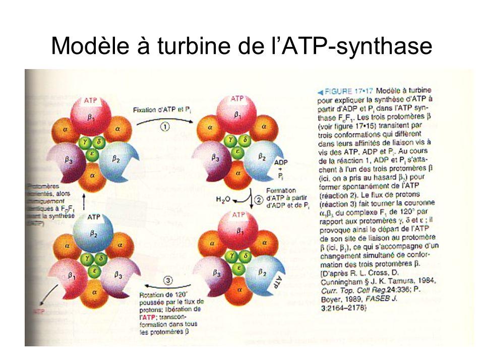 Modèle à turbine de l'ATP-synthase