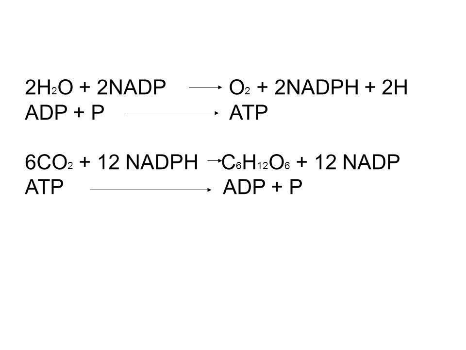 2H2O + 2NADP O2 + 2NADPH + 2H ADP + P ATP. 6CO2 + 12 NADPH C6H12O6 + 12 NADP.