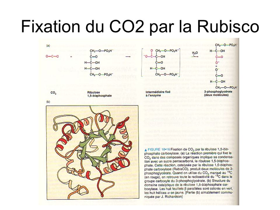 Fixation du CO2 par la Rubisco
