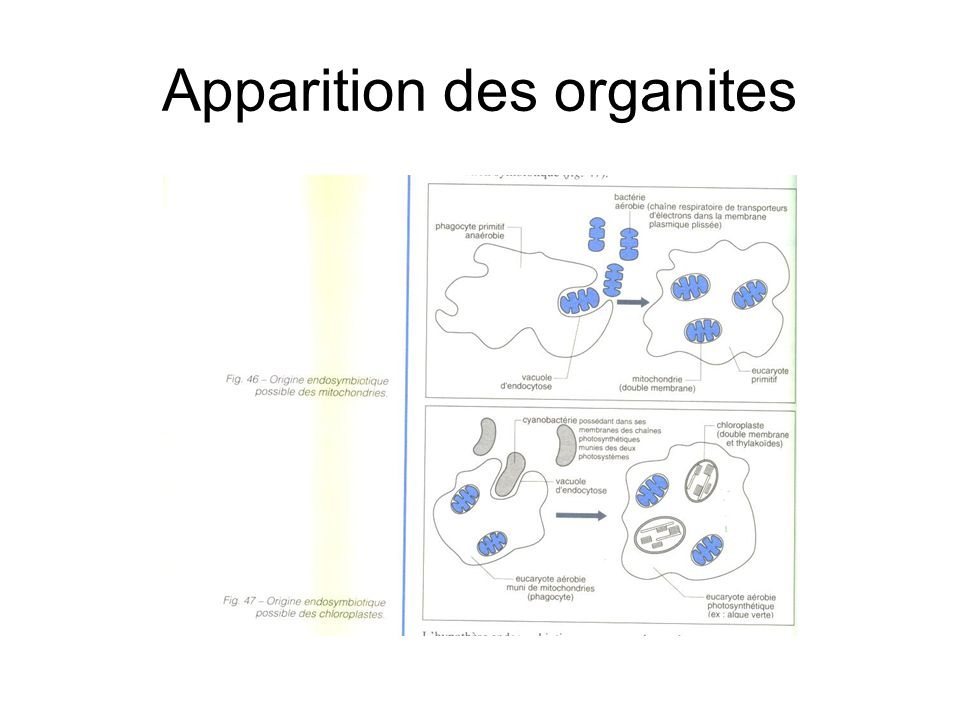 Apparition des organites