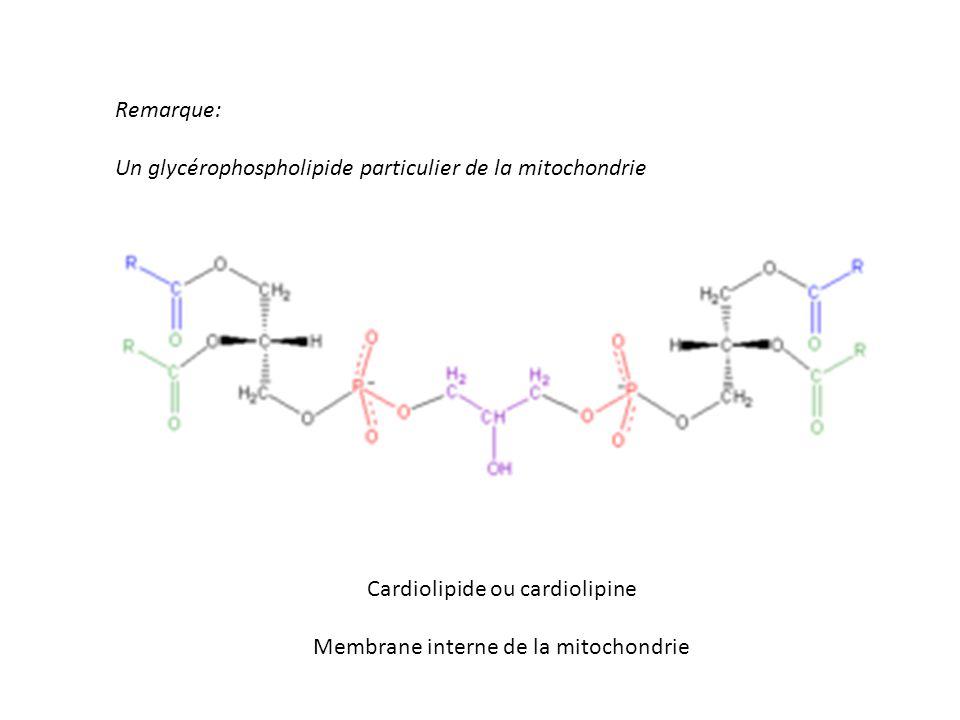 Un glycérophospholipide particulier de la mitochondrie