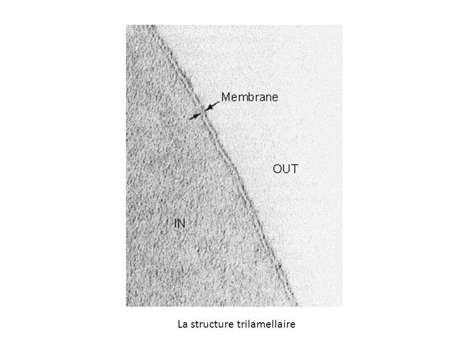 La structure trilamellaire