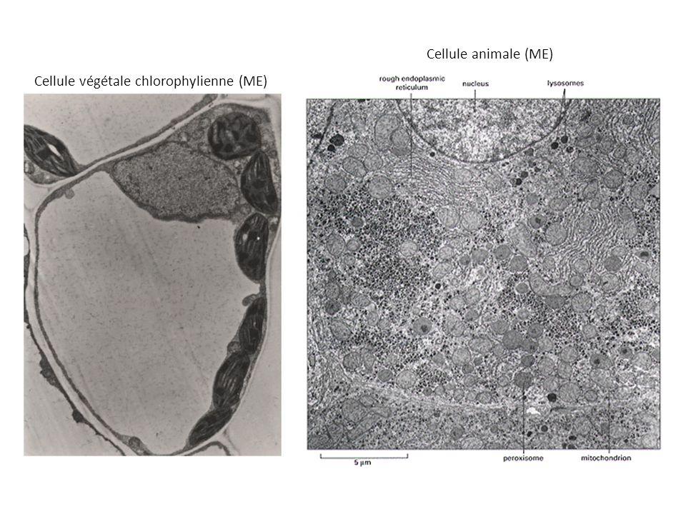 Cellule animale (ME) Cellule végétale chlorophylienne (ME)