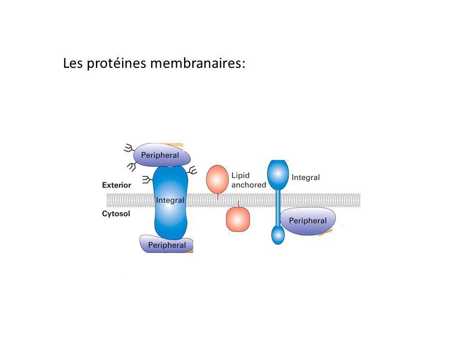 Les protéines membranaires: