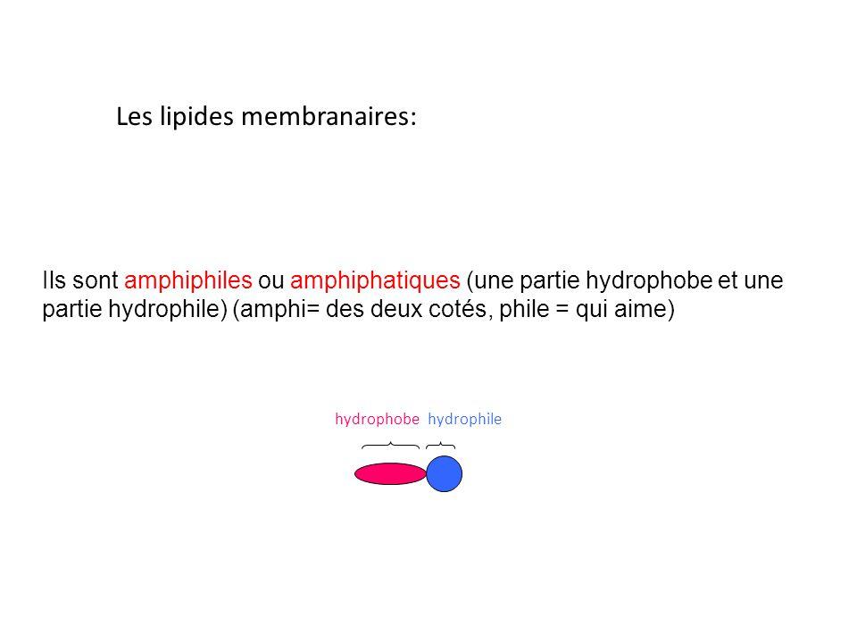 Les lipides membranaires: