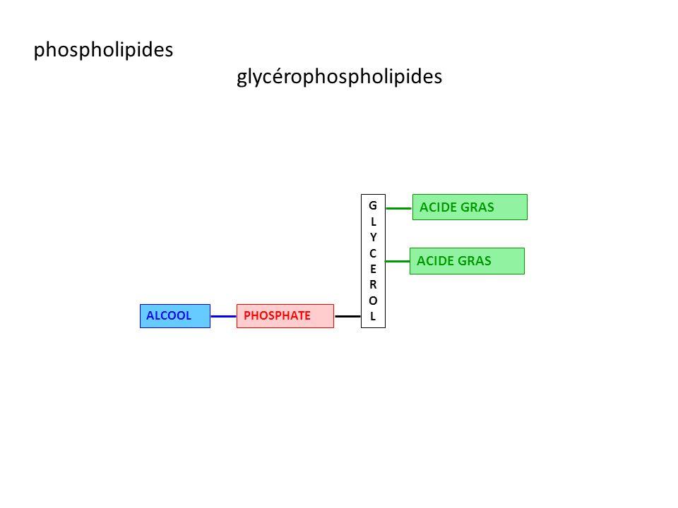 glycérophospholipides