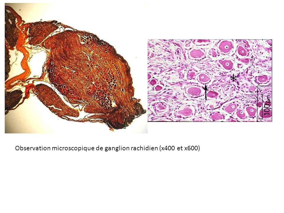 Observation microscopique de ganglion rachidien (x400 et x600)