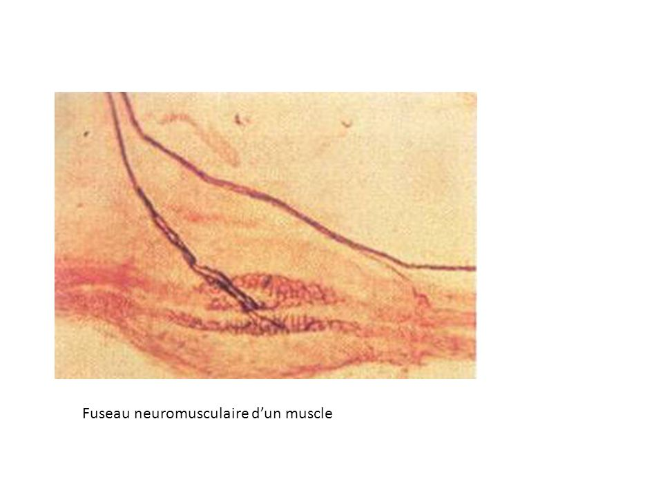 Fuseau neuromusculaire d'un muscle