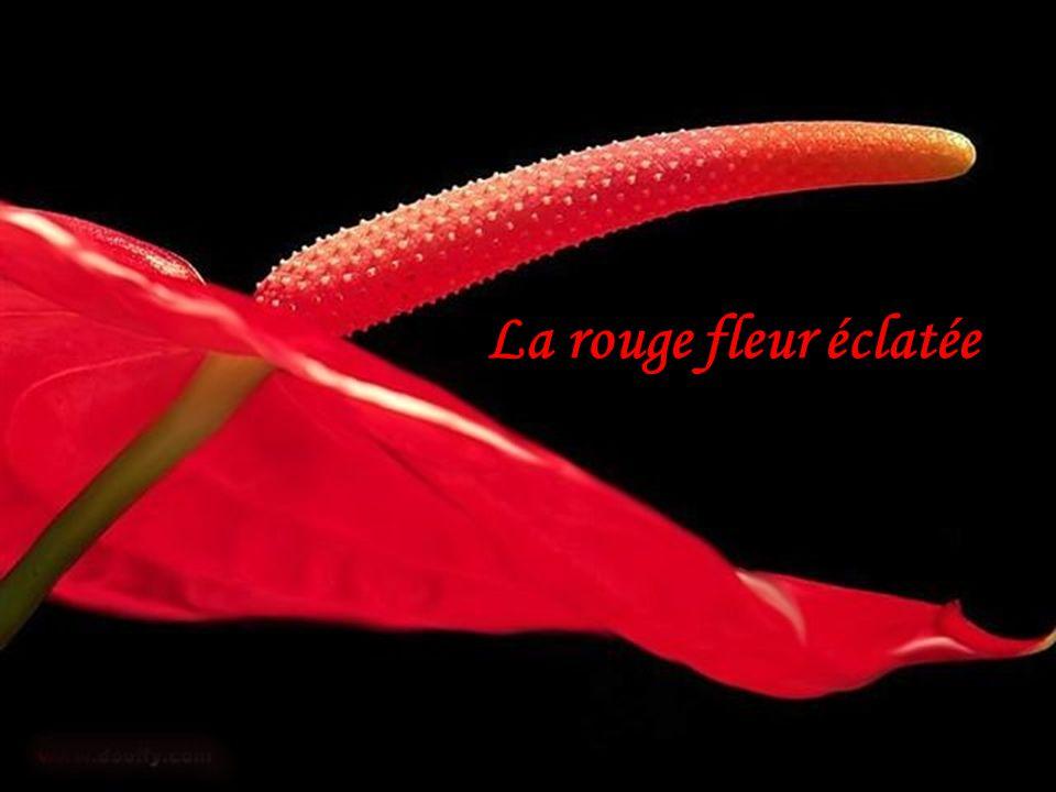 La rouge fleur éclatée