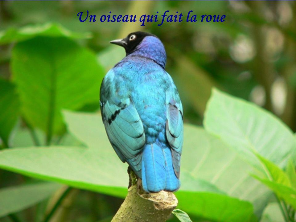 Un oiseau qui fait la roue