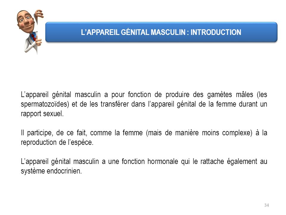L'APPAREIL GÉNITAL MASCULIN : INTRODUCTION