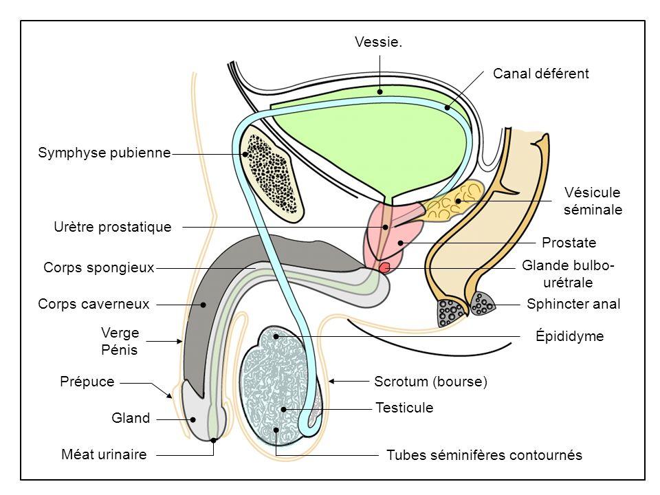 Vessie.Scrotum (bourse) Méat urinaire. Verge. Pénis. Corps caverneux. Symphyse pubienne. Vésicule. séminale.