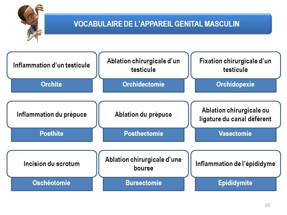 VOCABULAIRE DE L'APPAREIL GENITAL MASCULIN