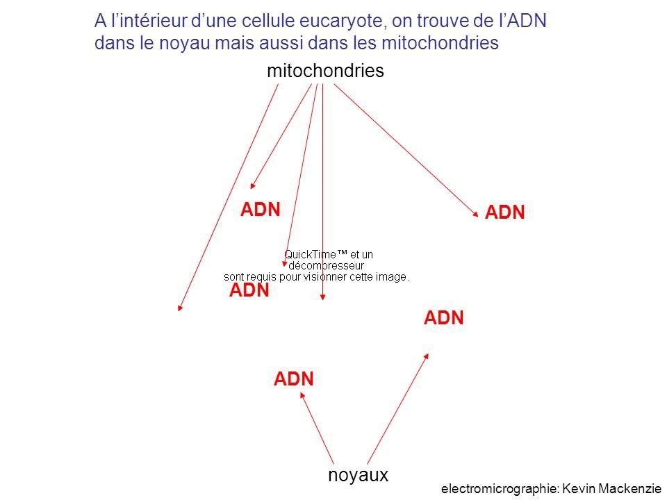 A l'intérieur d'une cellule eucaryote, on trouve de l'ADN dans le noyau mais aussi dans les mitochondries