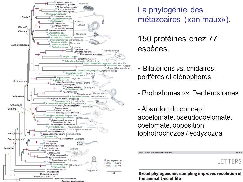 La phylogénie des métazoaires («animaux»).