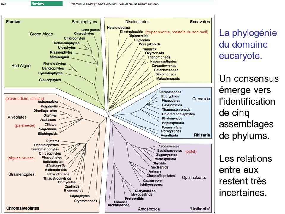 La phylogénie du domaine eucaryote.