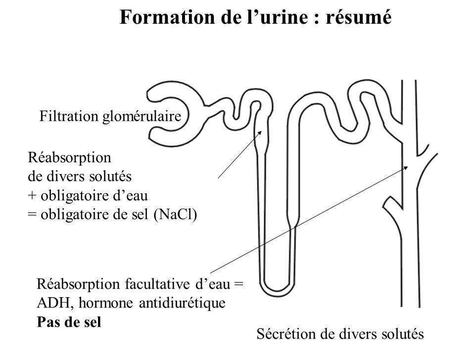 Formation de l'urine : résumé