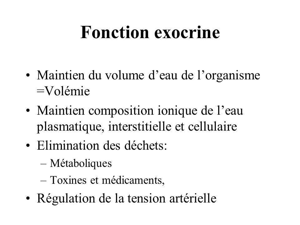 Fonction exocrine Maintien du volume d'eau de l'organisme =Volémie