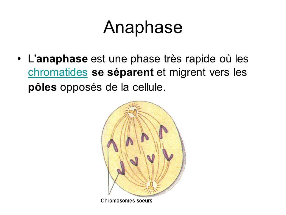 Anaphase L anaphase est une phase très rapide où les chromatides se séparent et migrent vers les pôles opposés de la cellule.