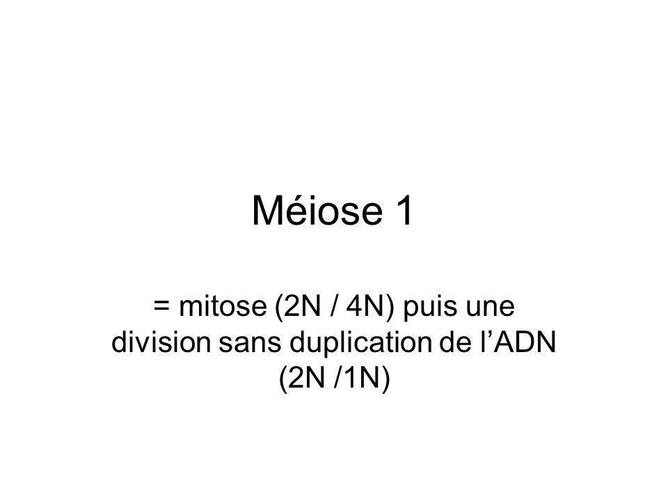 Méiose 1 = mitose (2N / 4N) puis une division sans duplication de l'ADN (2N /1N)