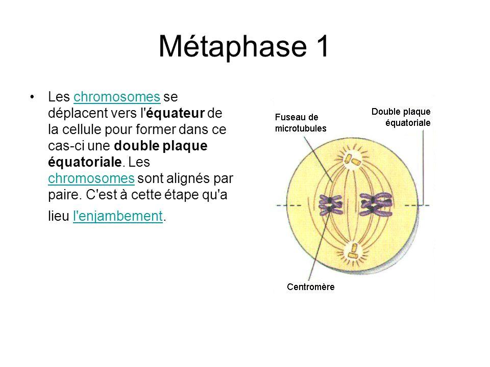 Métaphase 1