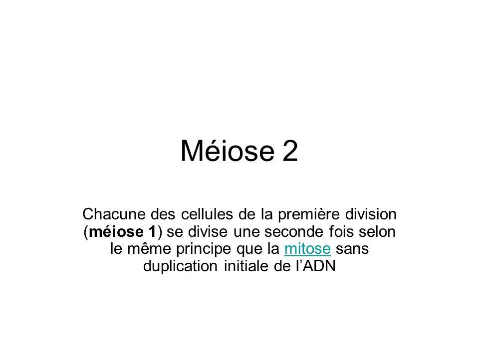 Méiose 2