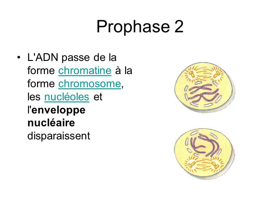Prophase 2L ADN passe de la forme chromatine à la forme chromosome, les nucléoles et l enveloppe nucléaire disparaissent.