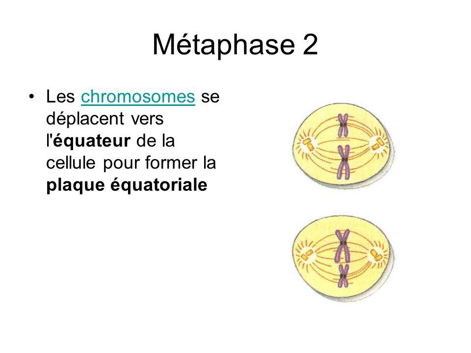 Métaphase 2 Les chromosomes se déplacent vers l équateur de la cellule pour former la plaque équatoriale.