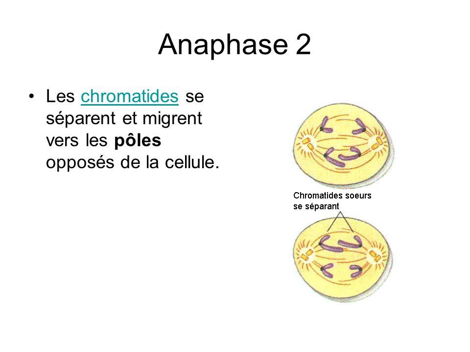 Anaphase 2 Les chromatides se séparent et migrent vers les pôles opposés de la cellule.