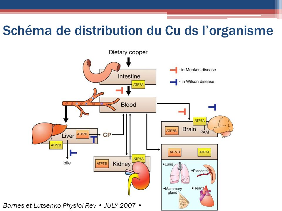 Schéma de distribution du Cu ds l'organisme