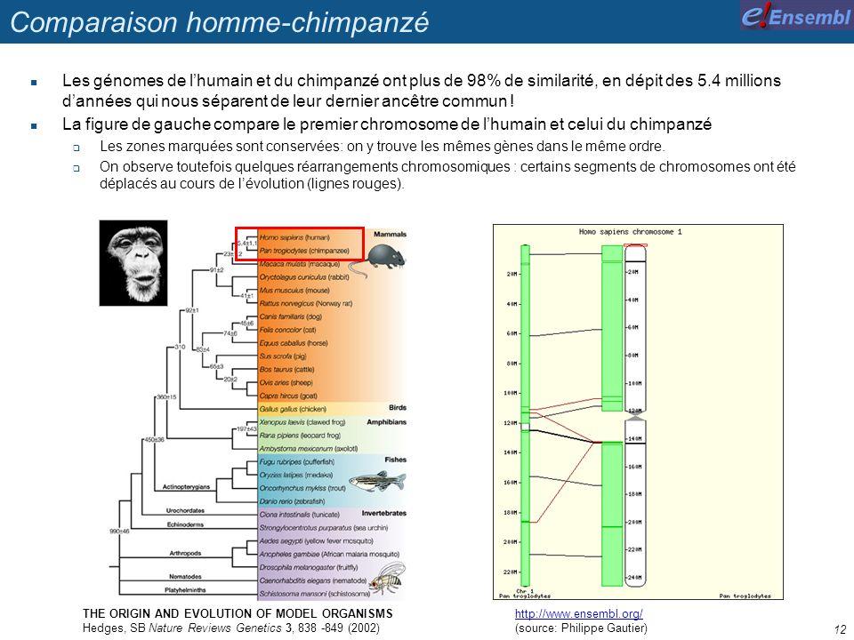 Comparaison homme-chimpanzé