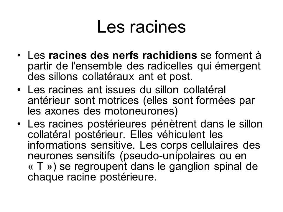 Les racines Les racines des nerfs rachidiens se forment à partir de l ensemble des radicelles qui émergent des sillons collatéraux ant et post.