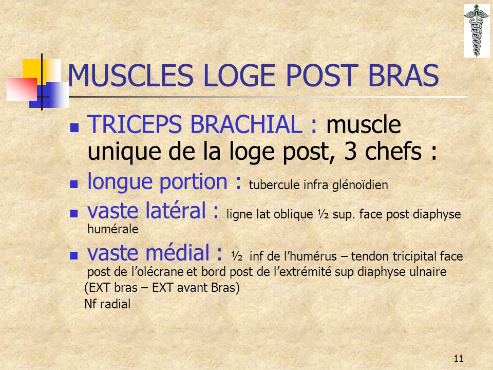 MUSCLES LOGE POST BRAS TRICEPS BRACHIAL : muscle unique de la loge post, 3 chefs : longue portion : tubercule infra glénoïdien.