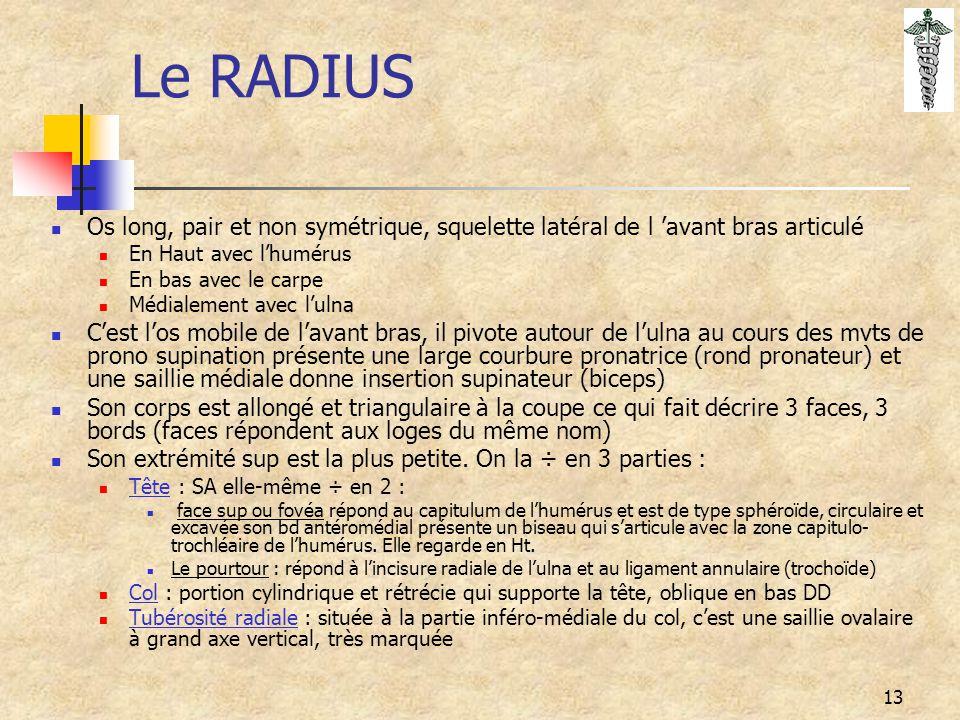 Le RADIUS Os long, pair et non symétrique, squelette latéral de l 'avant bras articulé. En Haut avec l'humérus.