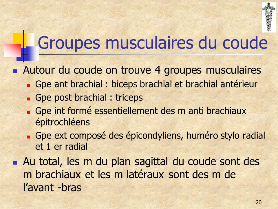Groupes musculaires du coude