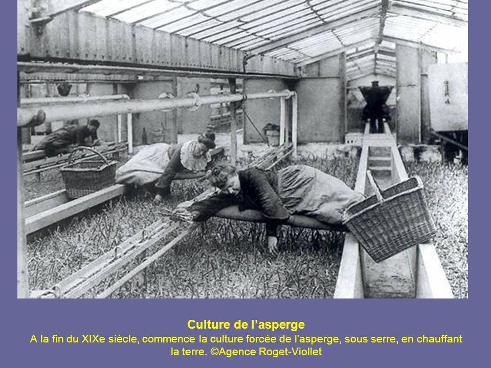 Culture de l'asperge A la fin du XIXe siècle, commence la culture forcée de l asperge, sous serre, en chauffant la terre.