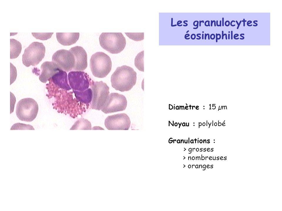 Les granulocytes éosinophiles