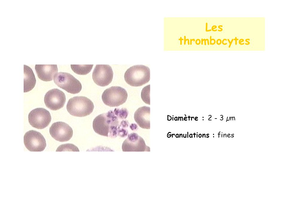 Les thrombocytes Diamètre : 2 - 3 µm Granulations : fines